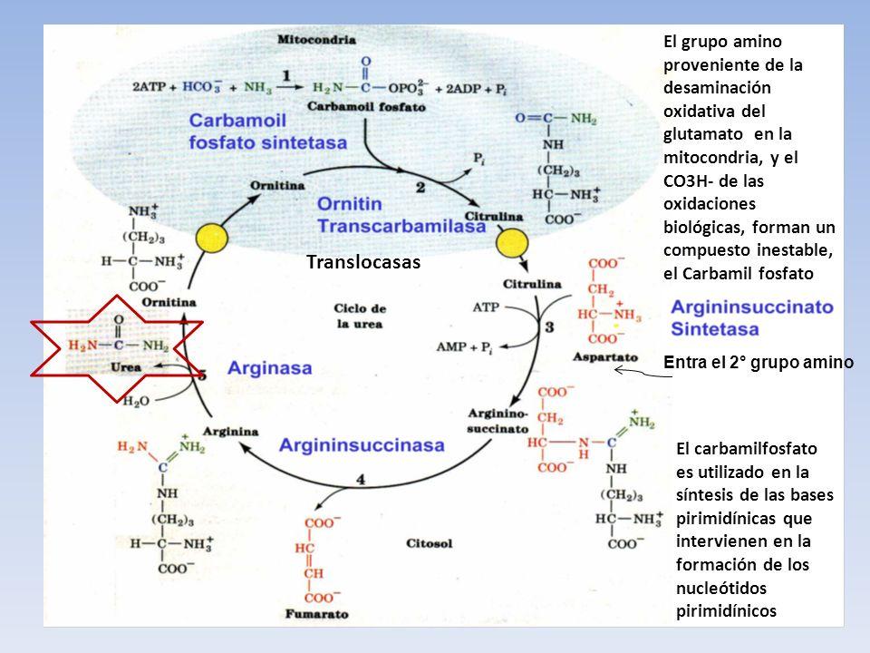 El grupo amino proveniente de la desaminación oxidativa del glutamato en la mitocondria, y el CO3H- de las oxidaciones biológicas, forman un compuesto inestable, el Carbamil fosfato