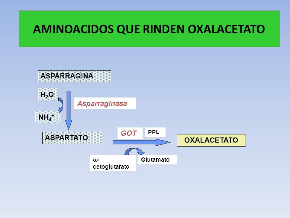 AMINOACIDOS QUE RINDEN OXALACETATO