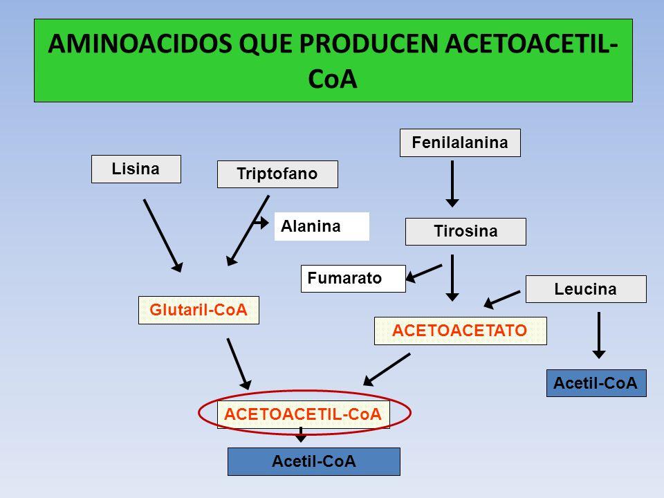 AMINOACIDOS QUE PRODUCEN ACETOACETIL-CoA
