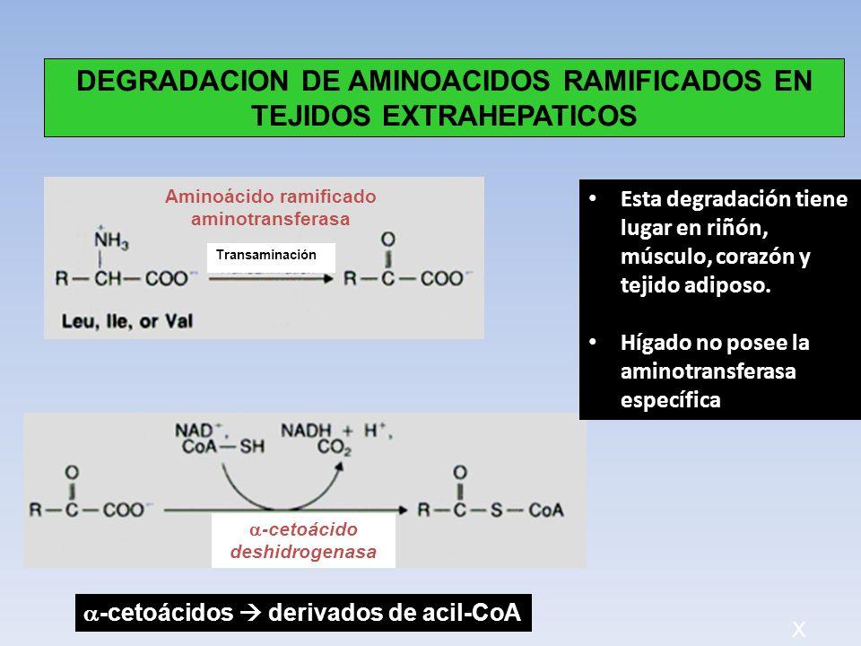 DEGRADACION DE AMINOACIDOS RAMIFICADOS EN TEJIDOS EXTRAHEPATICOS
