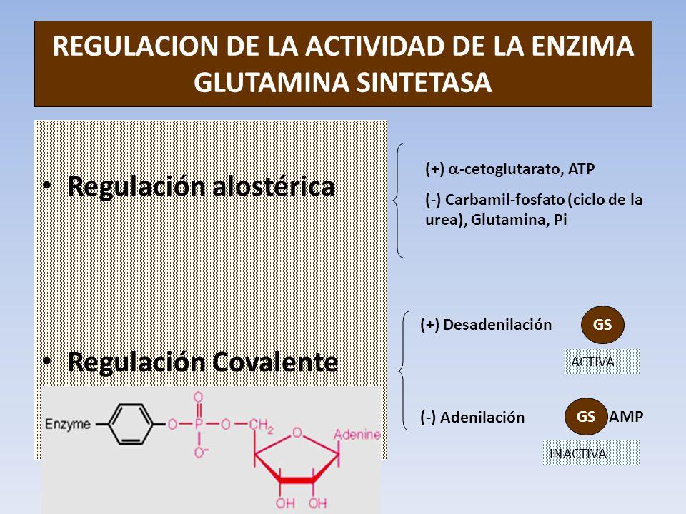 REGULACION DE LA ACTIVIDAD DE LA ENZIMA GLUTAMINA SINTETASA