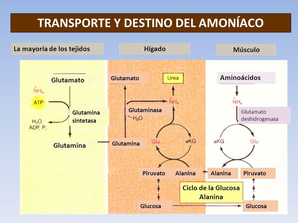TRANSPORTE Y DESTINO DEL AMONÍACO Ciclo de la Glucosa Alanina