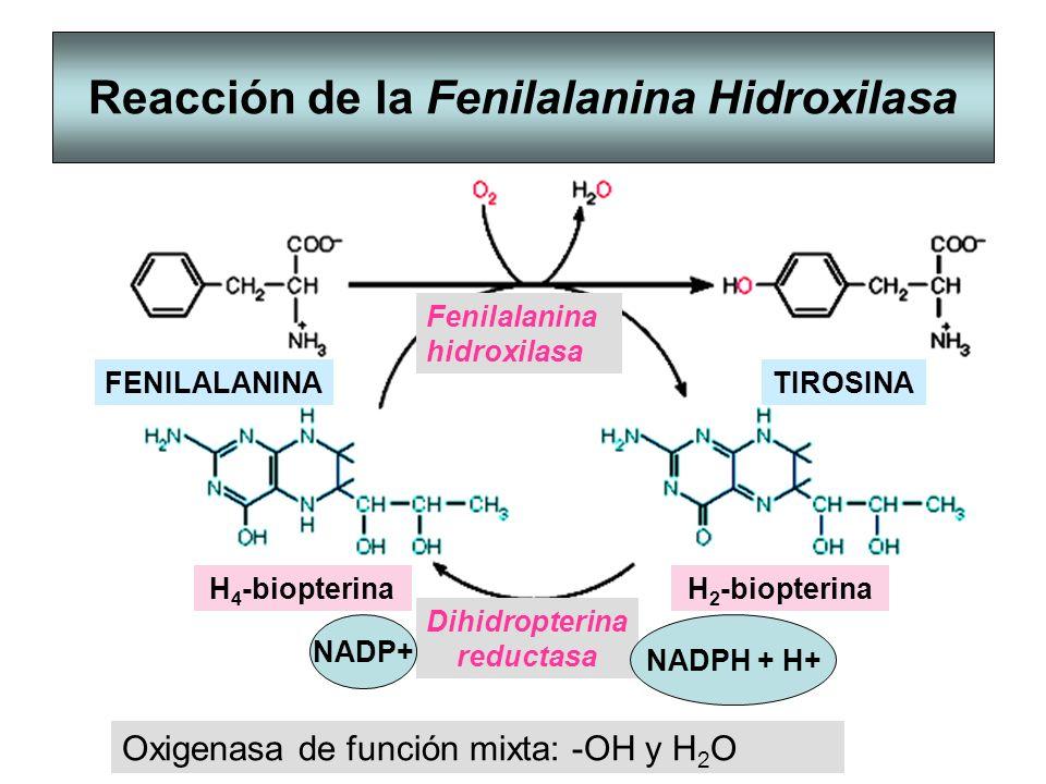 Reacción de la Fenilalanina Hidroxilasa