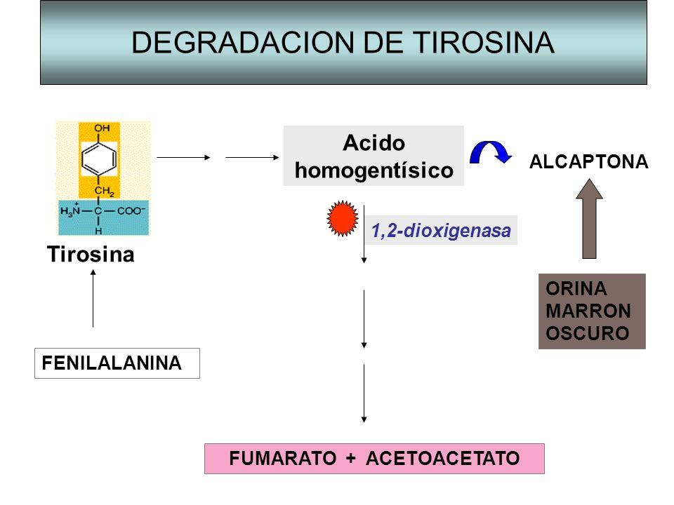 DEGRADACION DE TIROSINA