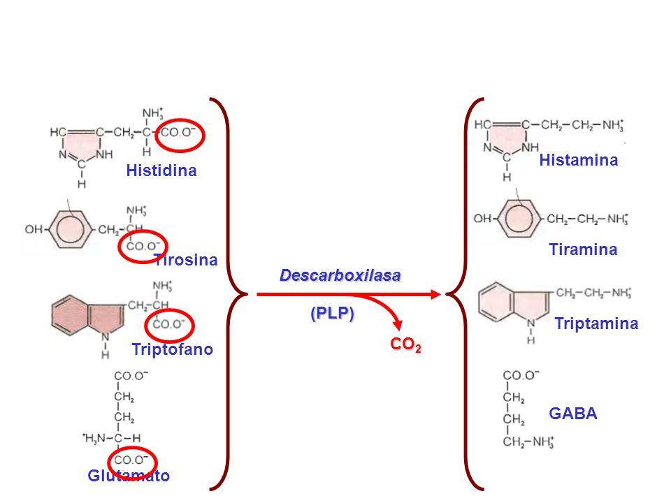 Histidina Descarboxilasa (PLP) Histamina Tiramina Tirosina Triptofano Triptamina CO2 Glutamato GABA