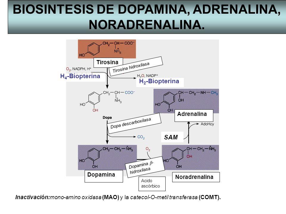 BIOSINTESIS DE DOPAMINA, ADRENALINA, NORADRENALINA.