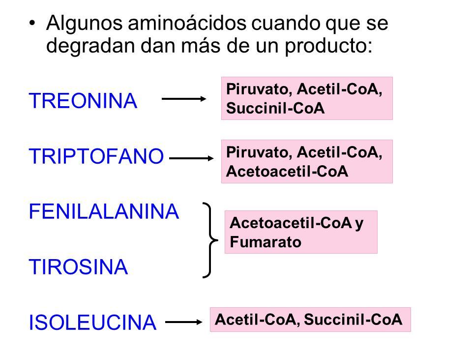 Algunos aminoácidos cuando que se degradan dan más de un producto: