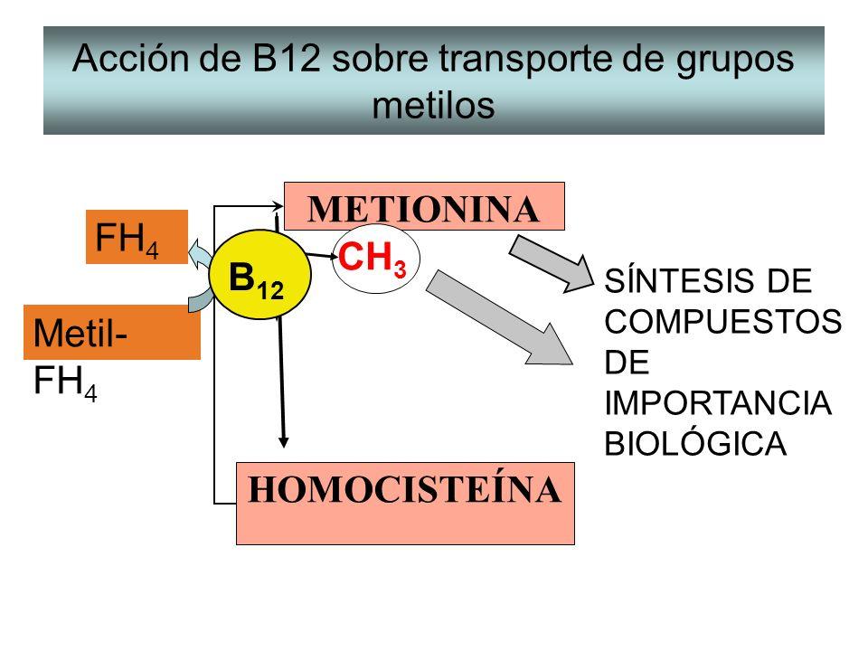 Acción de B12 sobre transporte de grupos metilos