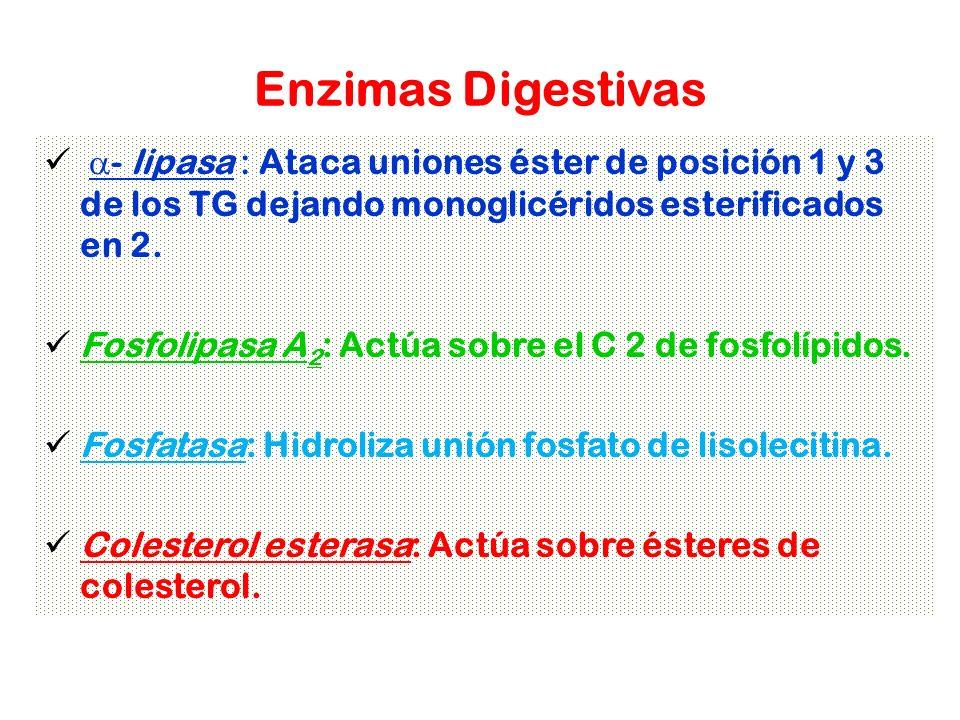 Enzimas Digestivas a- lipasa : Ataca uniones éster de posición 1 y 3 de los TG dejando monoglicéridos esterificados en 2.