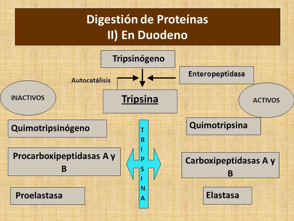 Digestión de Proteínas II) En Duodeno