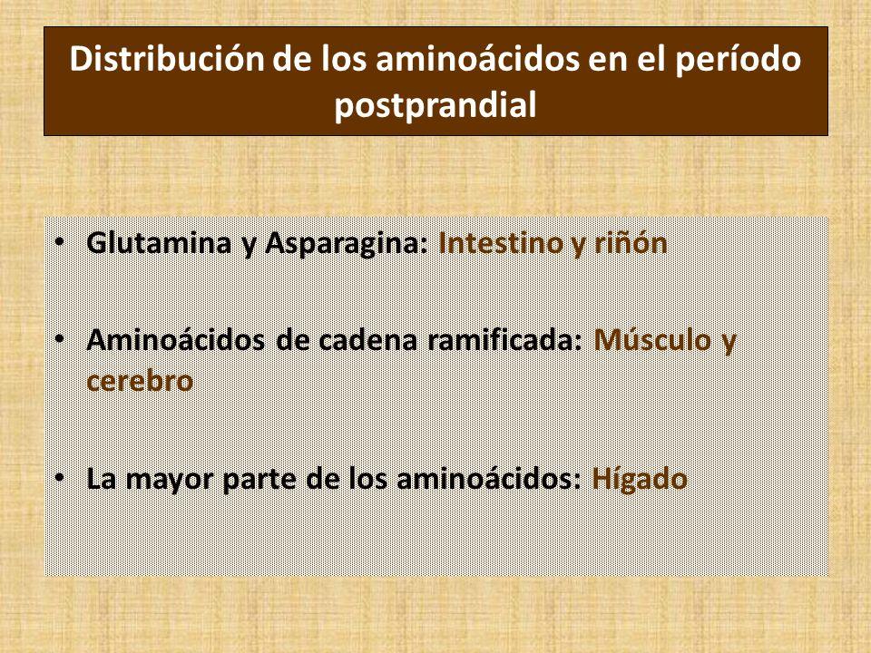 Distribución de los aminoácidos en el período postprandial