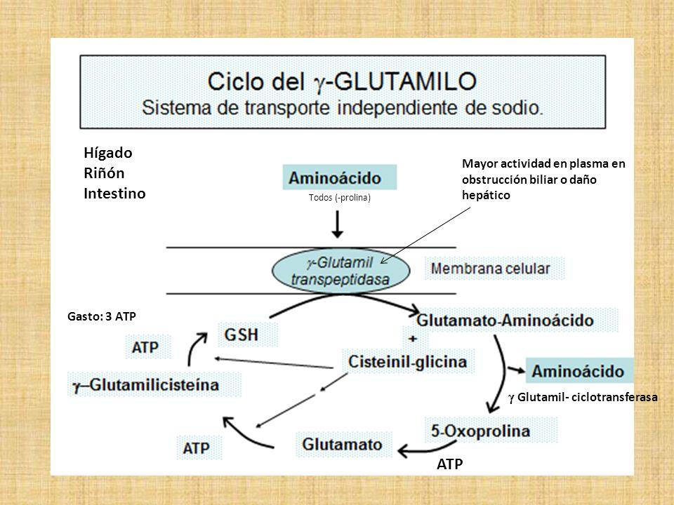 Hígado Riñón Intestino ATP