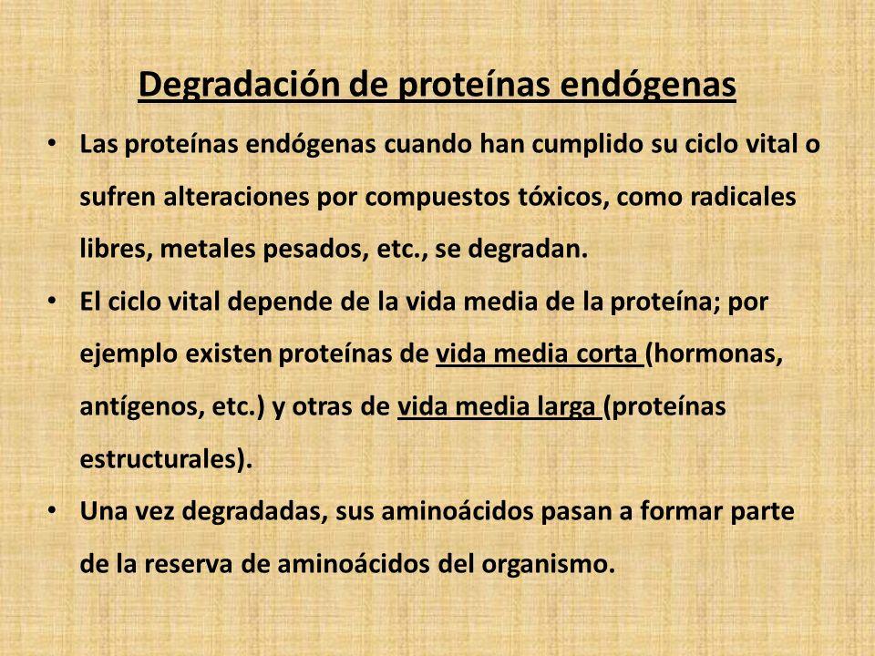 Degradación de proteínas endógenas