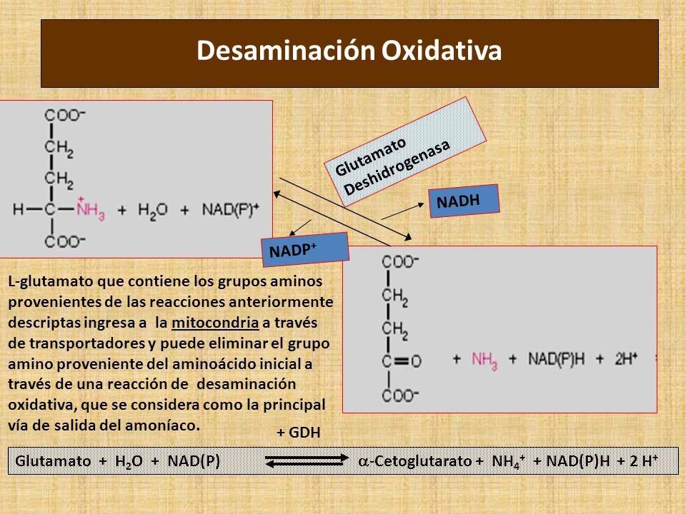 Desaminación Oxidativa