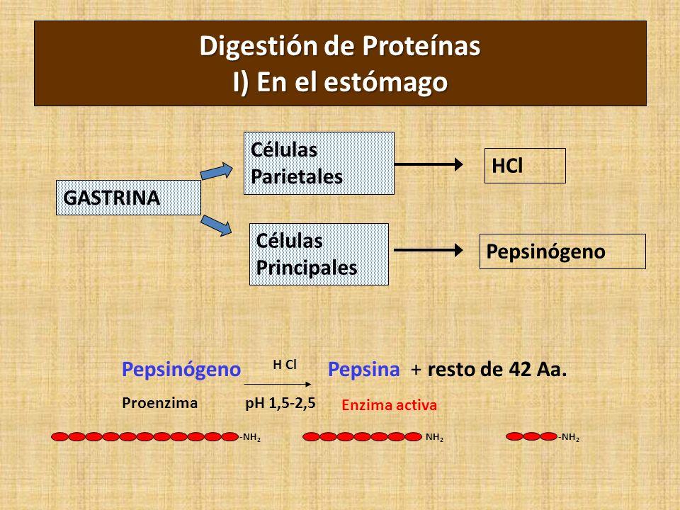 Digestión de Proteínas I) En el estómago