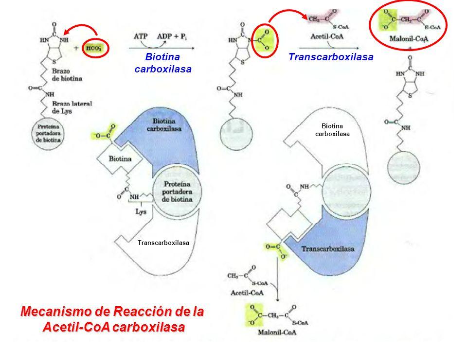 Mecanismo de Reacción de la Acetil-CoA carboxilasa