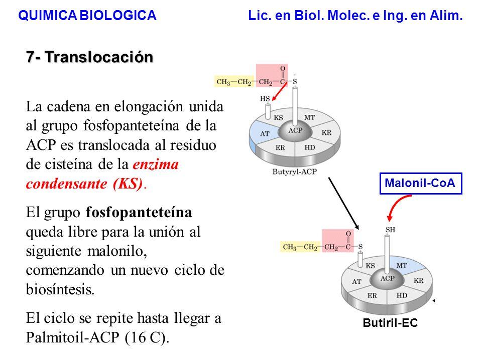 El ciclo se repite hasta llegar a Palmitoil-ACP (16 C).