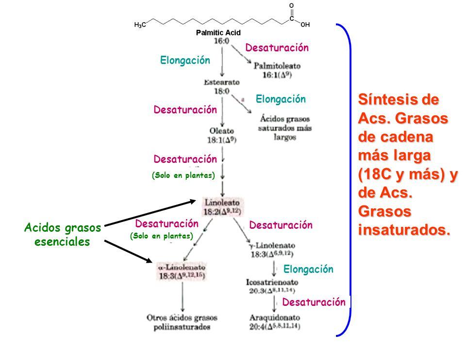 Desaturación Elongación. (Solo en plantas) Síntesis de Acs. Grasos de cadena más larga (18C y más) y de Acs. Grasos insaturados.