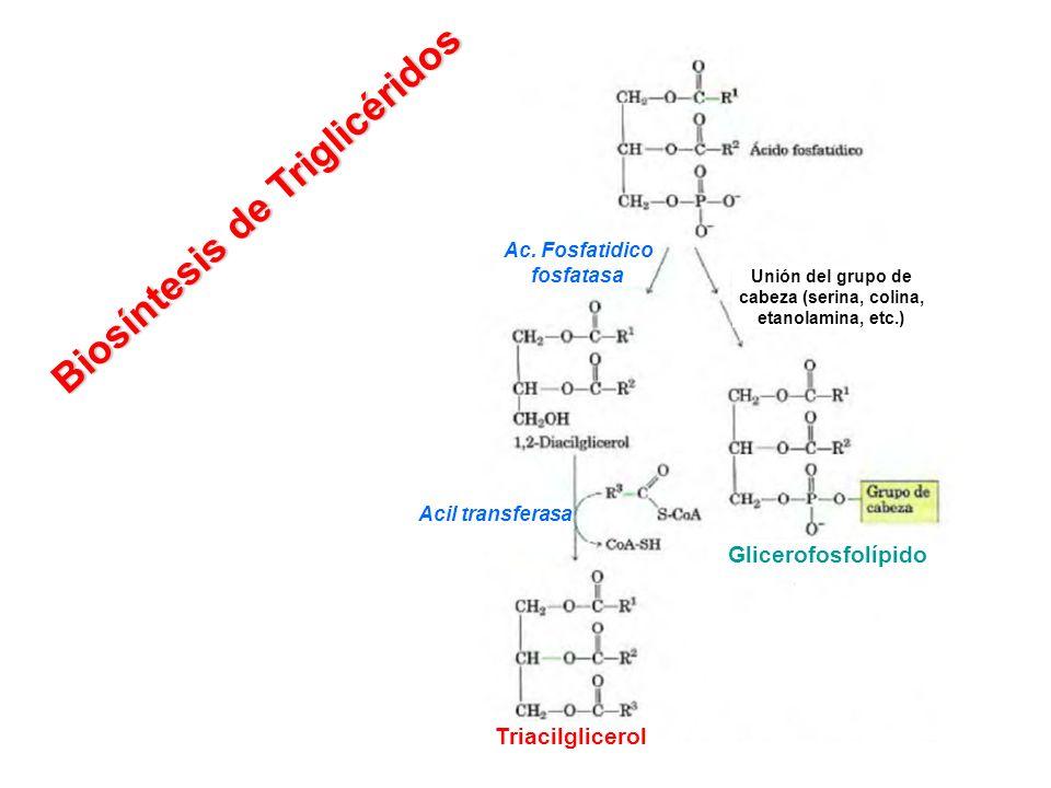 Unión del grupo de cabeza (serina, colina, etanolamina, etc.)
