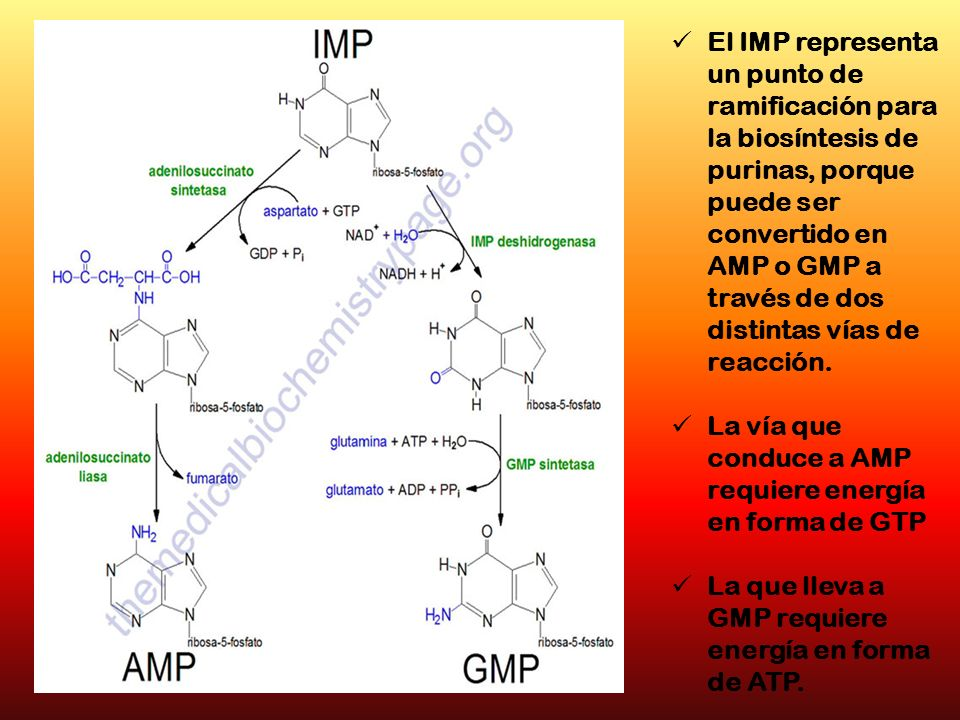 El IMP representa un punto de ramificación para la biosíntesis de purinas, porque puede ser convertido en AMP o GMP a través de dos distintas vías de reacción.