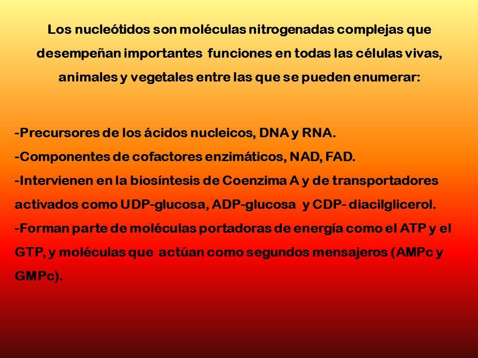 Los nucleótidos son moléculas nitrogenadas complejas que desempeñan importantes funciones en todas las células vivas, animales y vegetales entre las que se pueden enumerar: