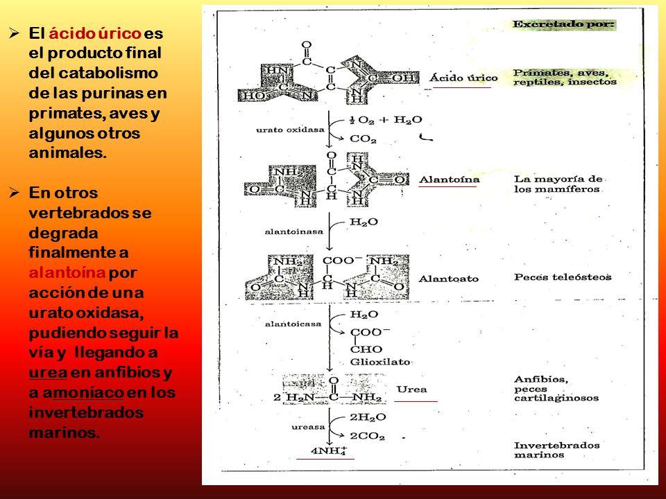 El ácido úrico es el producto final del catabolismo de las purinas en primates, aves y algunos otros animales.