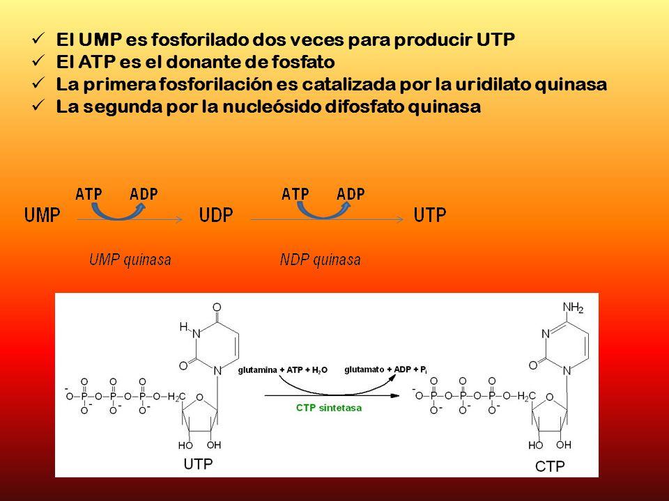 El UMP es fosforilado dos veces para producir UTP
