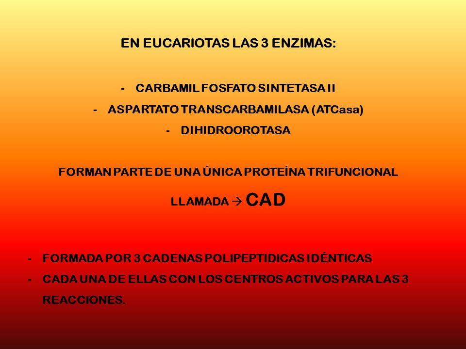 EN EUCARIOTAS LAS 3 ENZIMAS: