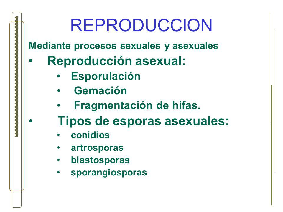 REPRODUCCION Reproducción asexual: Tipos de esporas asexuales: