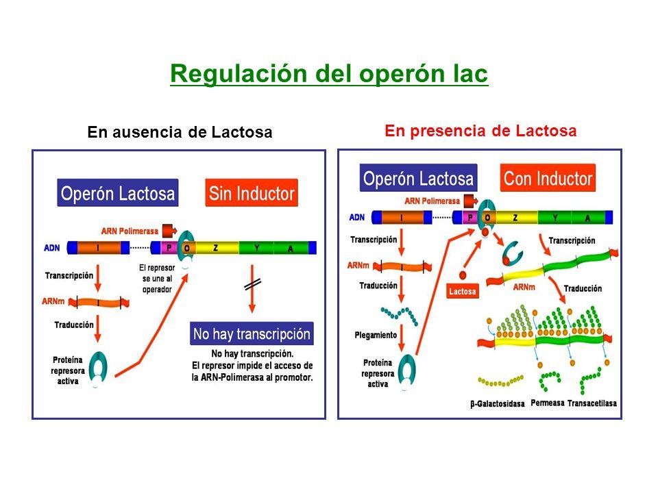 Regulación del operón lac