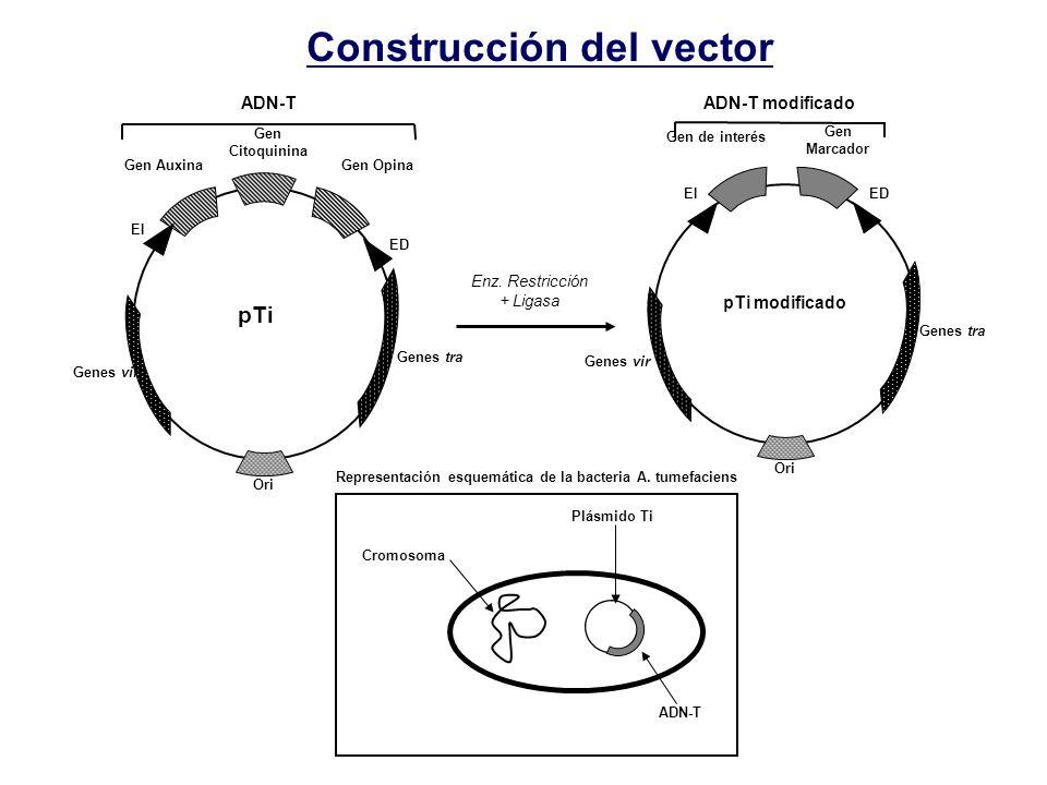 Construcción del vector