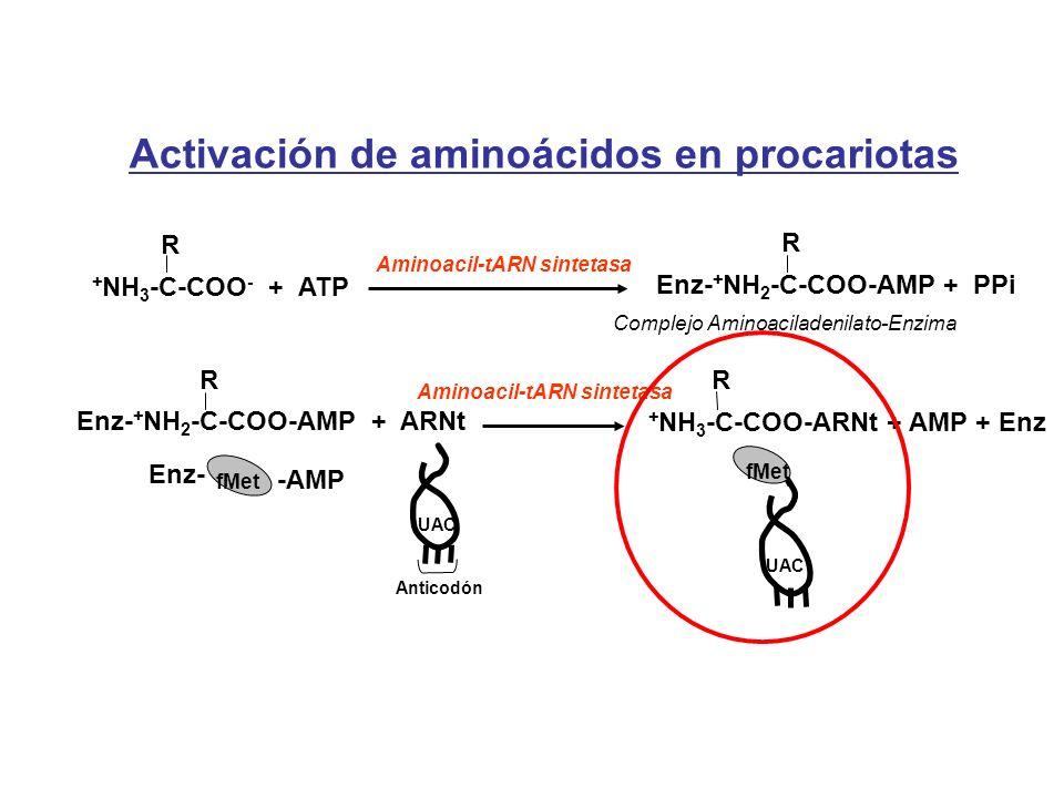 Activación de aminoácidos en procariotas
