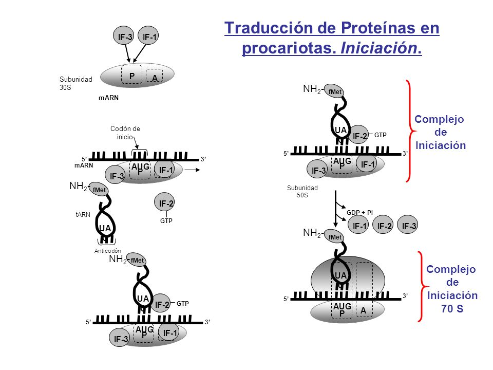 Traducción de Proteínas en procariotas. Iniciación.
