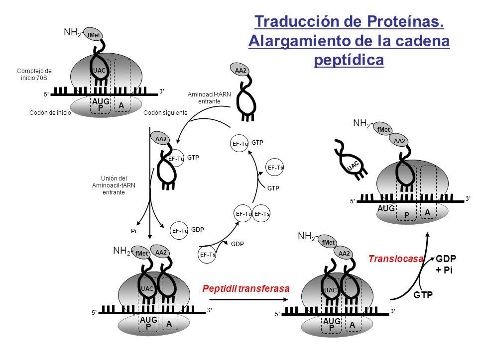 Traducción de Proteínas. Alargamiento de la cadena peptídica