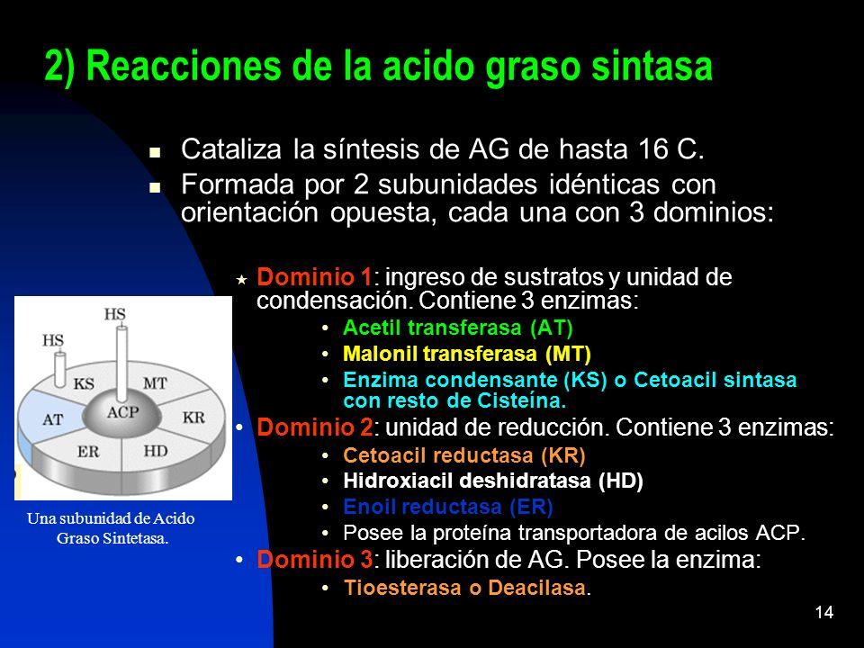 2) Reacciones de la acido graso sintasa