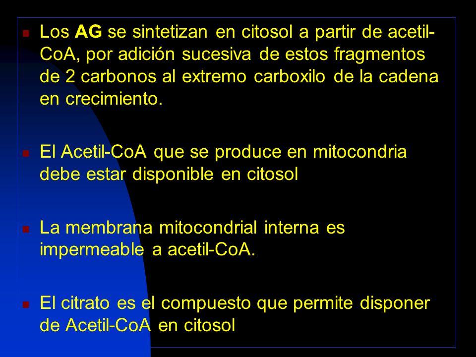 Los AG se sintetizan en citosol a partir de acetil-CoA, por adición sucesiva de estos fragmentos de 2 carbonos al extremo carboxilo de la cadena en crecimiento.