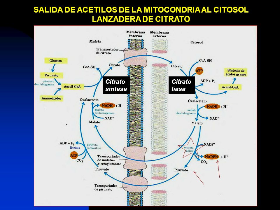 SALIDA DE ACETILOS DE LA MITOCONDRIA AL CITOSOL
