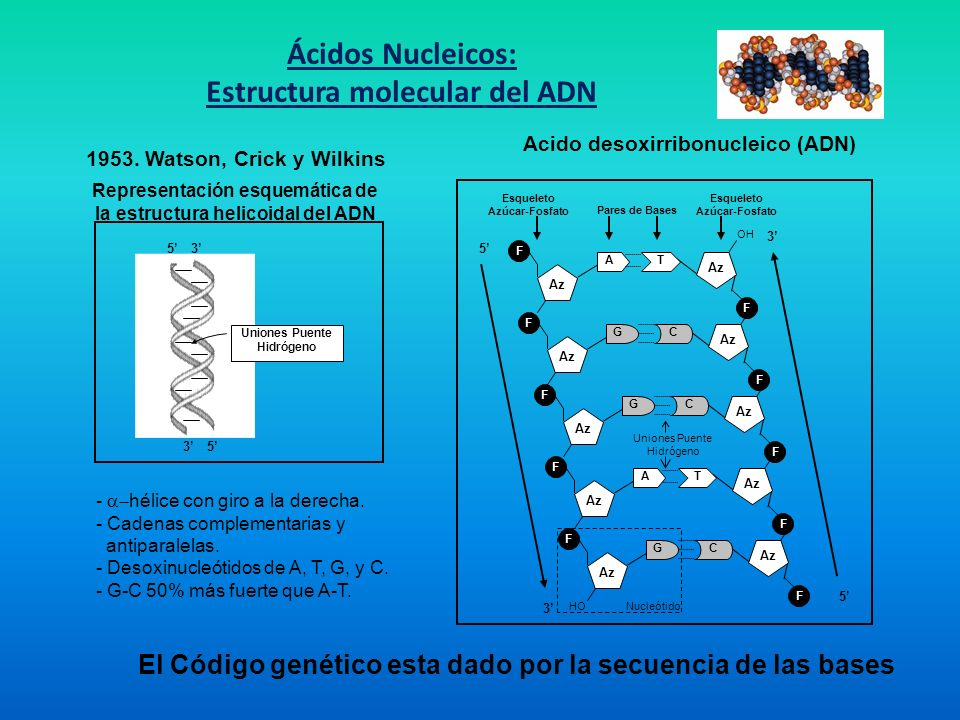 Ácidos Nucleicos: Estructura molecular del ADN