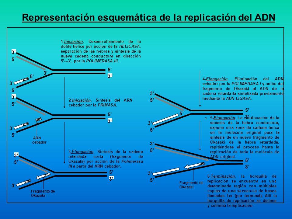 Representación esquemática de la replicación del ADN