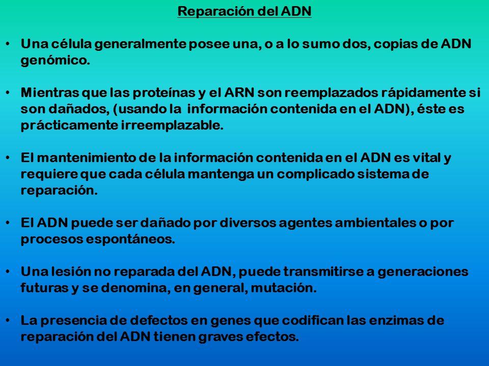 Reparación del ADN Una célula generalmente posee una, o a lo sumo dos, copias de ADN genómico.