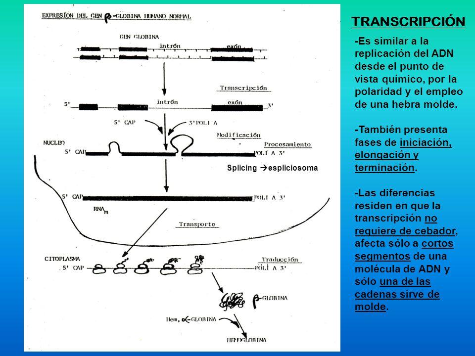 TRANSCRIPCIÓN -Es similar a la replicación del ADN desde el punto de vista químico, por la polaridad y el empleo de una hebra molde.