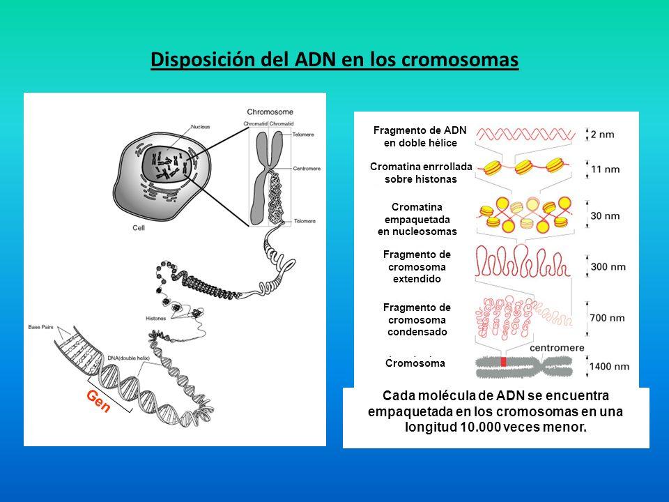 Disposición del ADN en los cromosomas