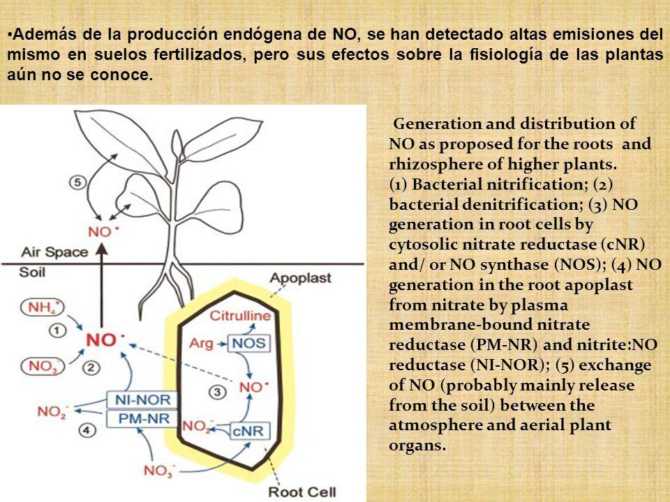 Además de la producción endógena de NO, se han detectado altas emisiones del mismo en suelos fertilizados, pero sus efectos sobre la fisiología de las plantas aún no se conoce.
