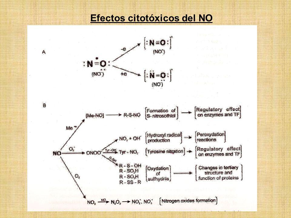 Efectos citotóxicos del NO