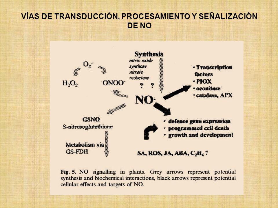 VÍAS DE TRANSDUCCIÓN, PROCESAMIENTO Y SEÑALIZACIÓN DE NO