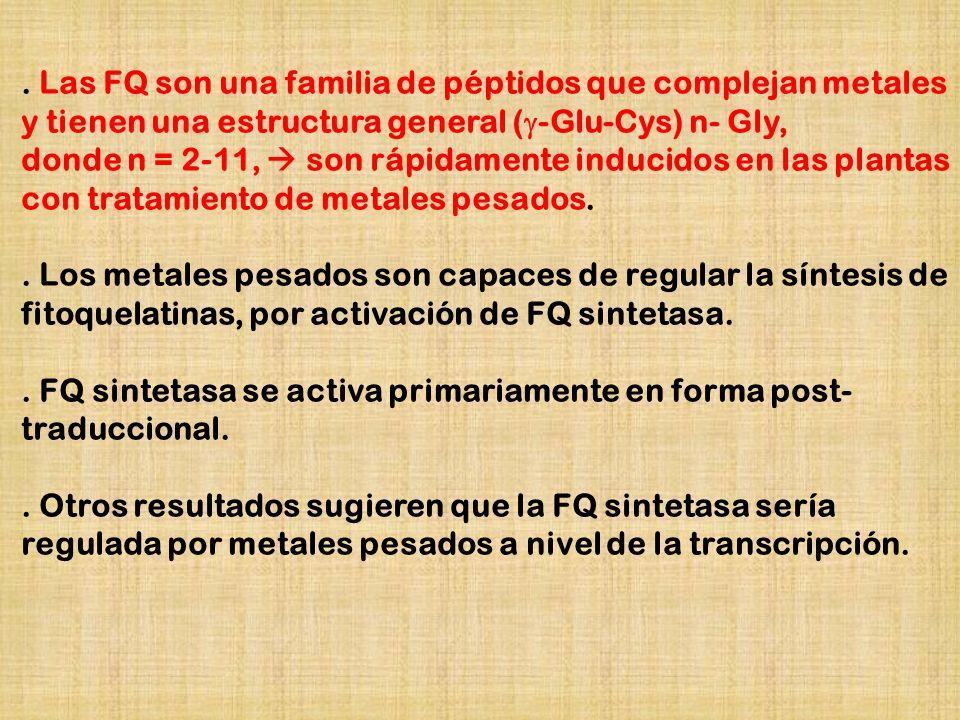 . Las FQ son una familia de péptidos que complejan metales y tienen una estructura general (-Glu-Cys) n- Gly,