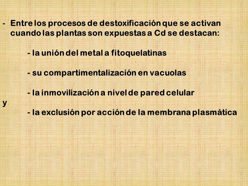 Entre los procesos de destoxificación que se activan cuando las plantas son expuestas a Cd se destacan: