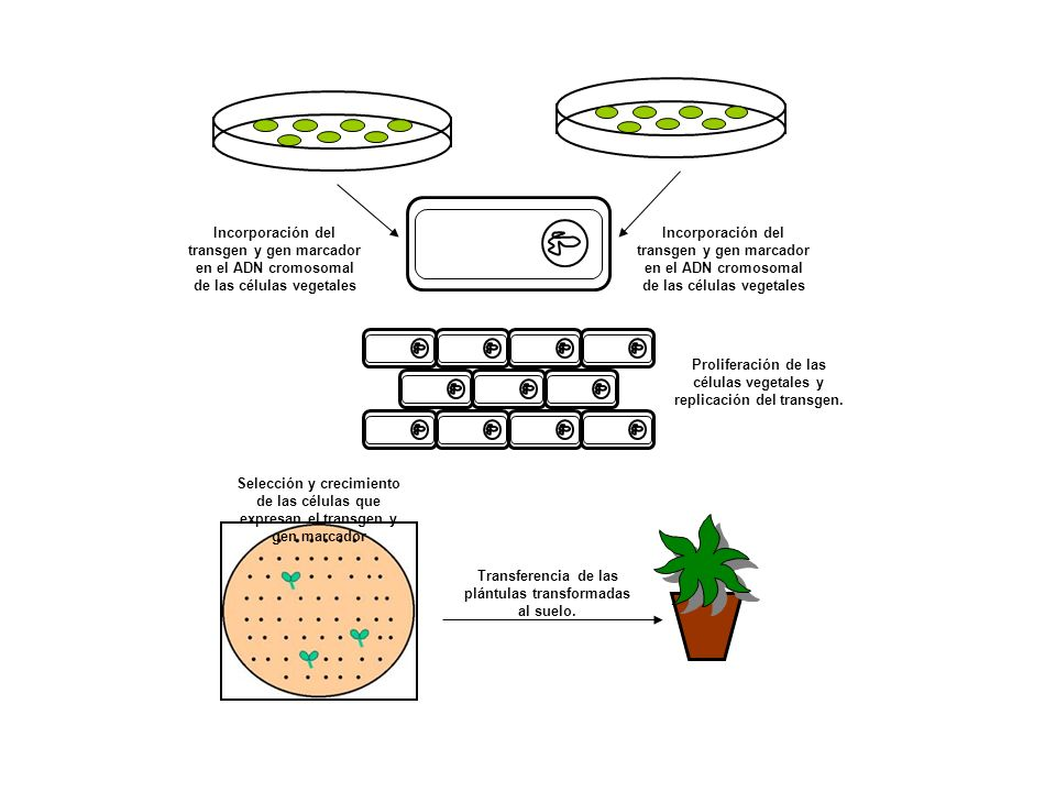 Proliferación de las células vegetales y replicación del transgen.