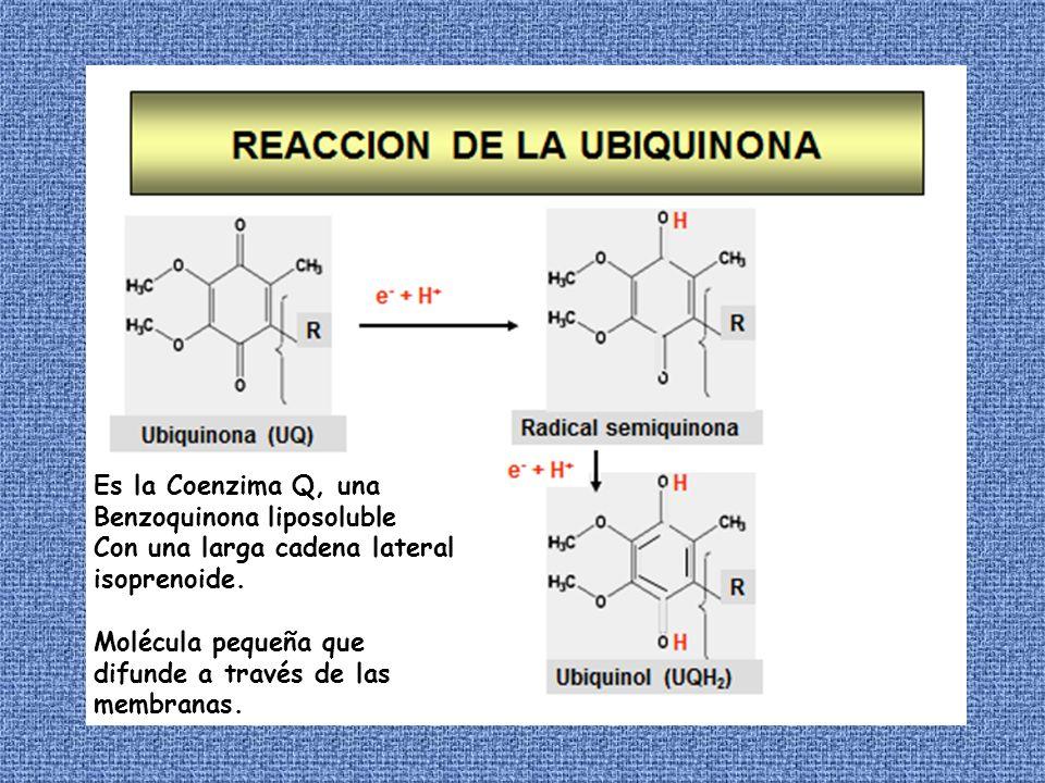 Es la Coenzima Q, una Benzoquinona liposoluble