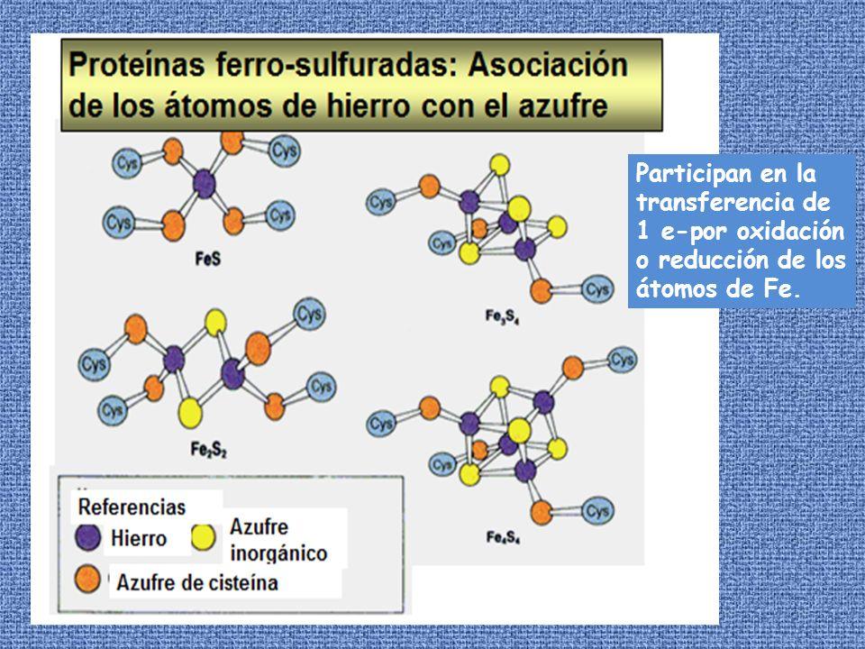 Participan en la transferencia de 1 e-por oxidación o reducción de los átomos de Fe.